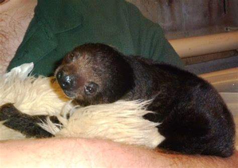 Meet Sid, the Not-So-Vicious Baby Sloth - ZooBorns