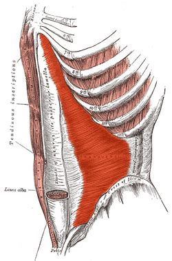 Abdominal Muscles: Transverse Abdominis Function