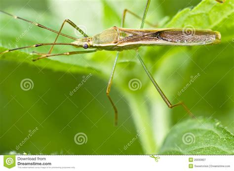 Daddy-long-legs Insect Green Nature Royalty Free Stock