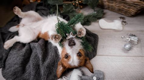 Dogs and Christmas trees: Pay attention to this! | Tractive
